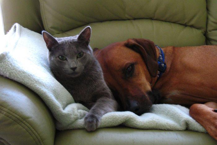 Borusjapl Hodowla Kotów Koty Rosyjskie Niebieskie